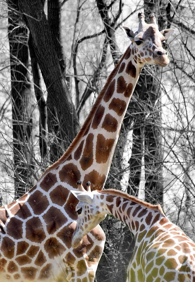 Giraffe Photograph - Giraffe One by Joseph Hedaya