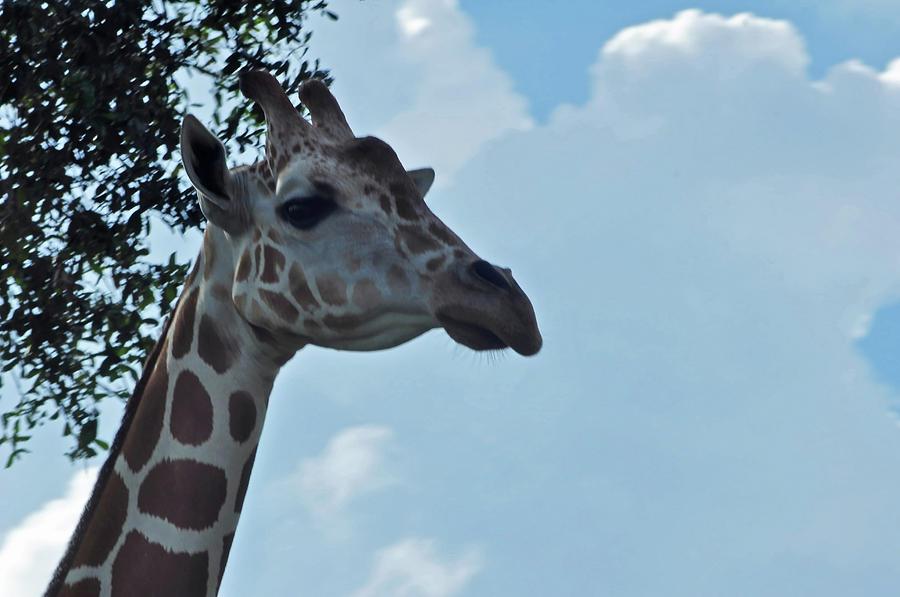 Giraffe Portrait 2 Photograph