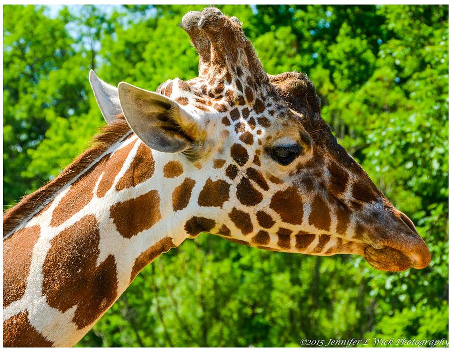 Giraffe Photograph - Giraffe Profile by Jennifer Wick