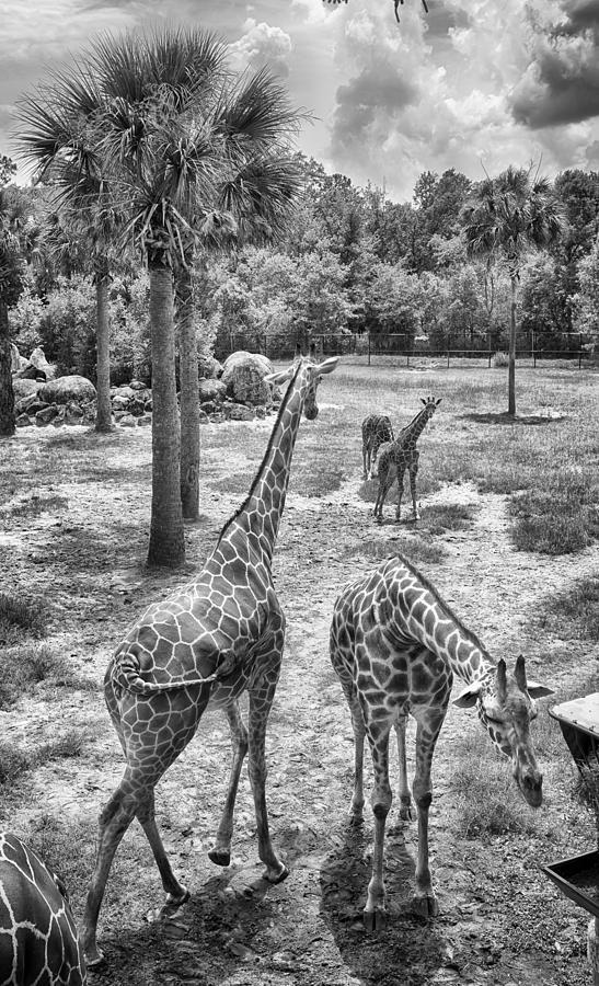 Giraffe Photograph - Giraffe Reticulated by Howard Salmon