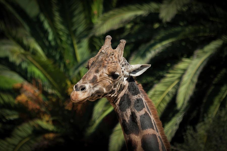 Giraffe Photograph - Giraffe  by Roger Mullenhour