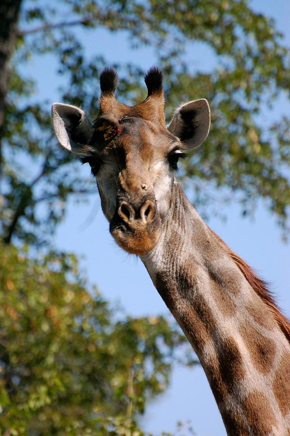 Giraffe Photograph - Giraffe  by Tess Haun