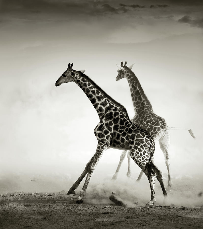 Giraffes Fleeing Photograph