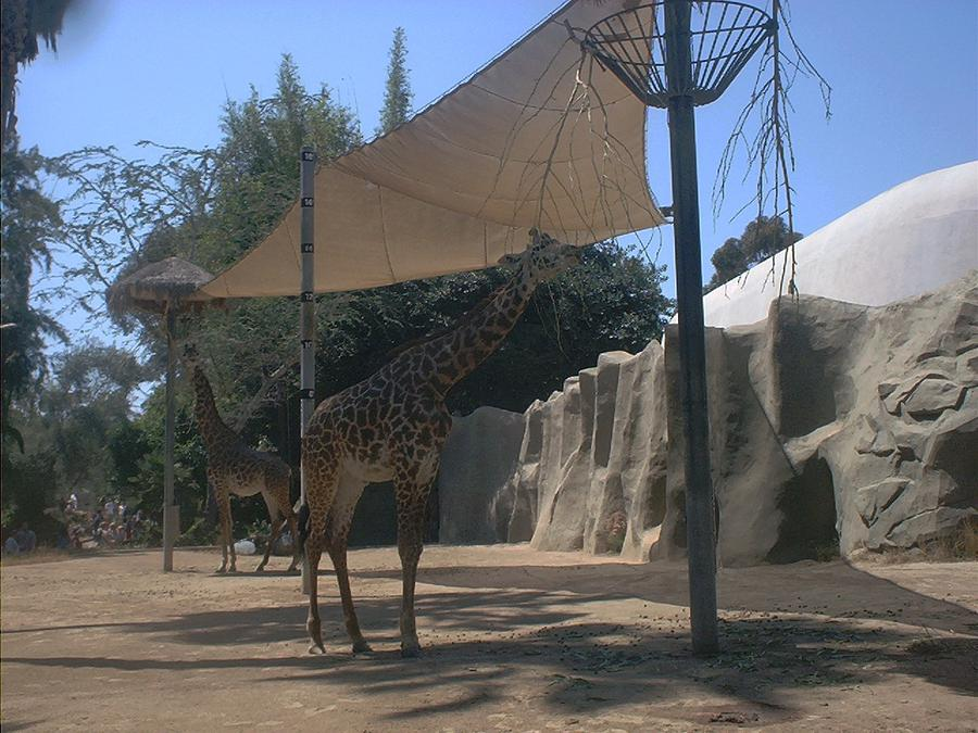 Wildlife Photograph - Giraffes by Guillermo Mason