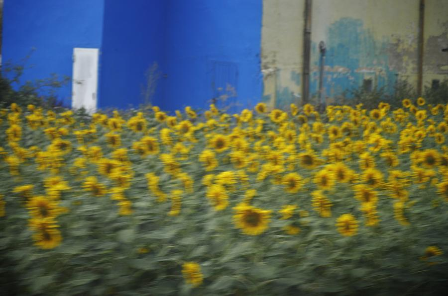 Sunflowers Photograph - Girasol by Tara Miller