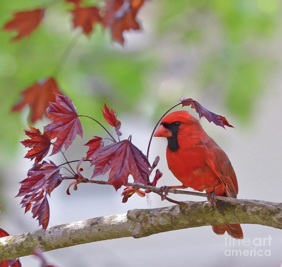 Male Cardinal Photograph - Give Me Shelter - Male Cardinal by Kerri Farley