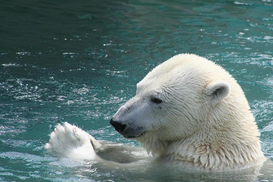 Polar Bear Photograph - Giving Thanks by David Barker