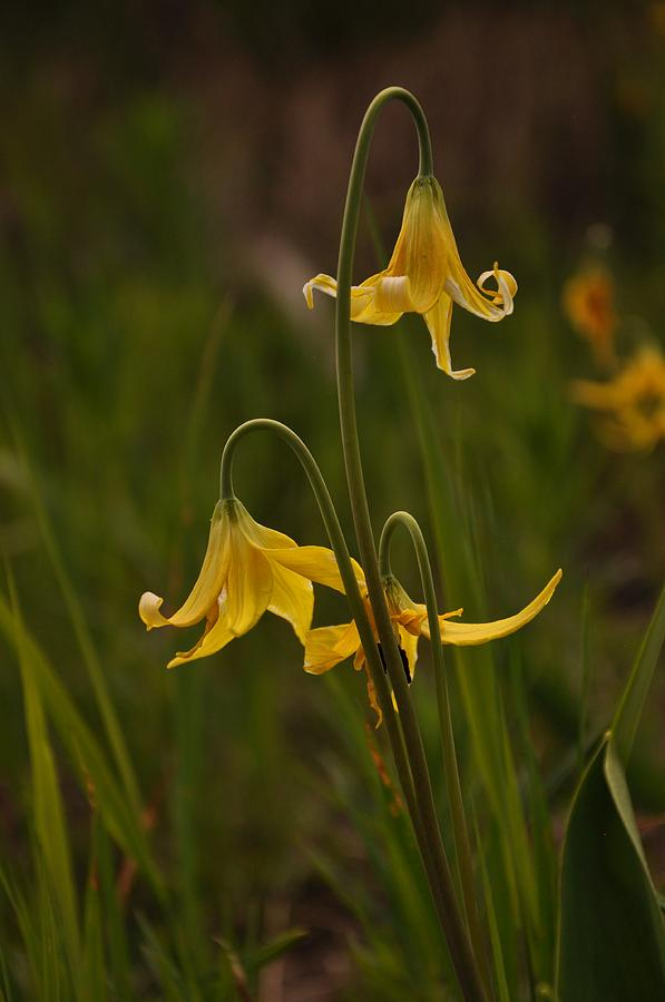 Yellowstone National Park Photograph - Glacier Lilly by Frank Madia