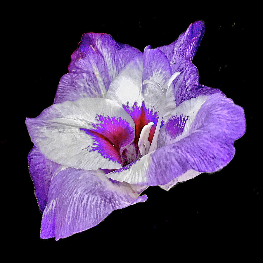 Gladiolus Bloom by Don Mercer