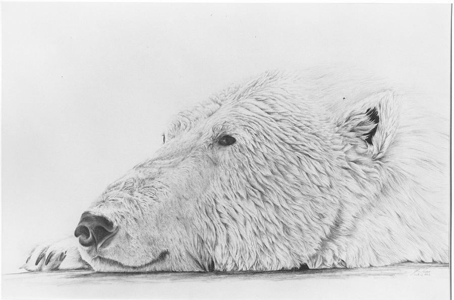 Polar Bear Drawing - Gladly by Glen Frear