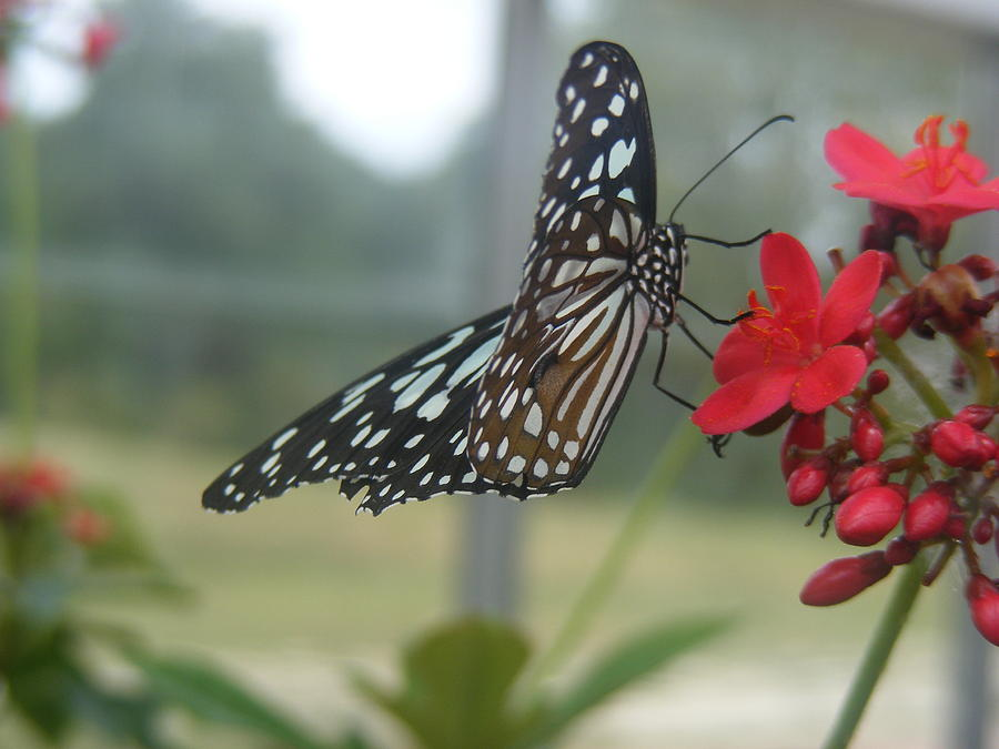 Butterfly Photograph - Glass Wing Butterfly by James and Vickie Rankin