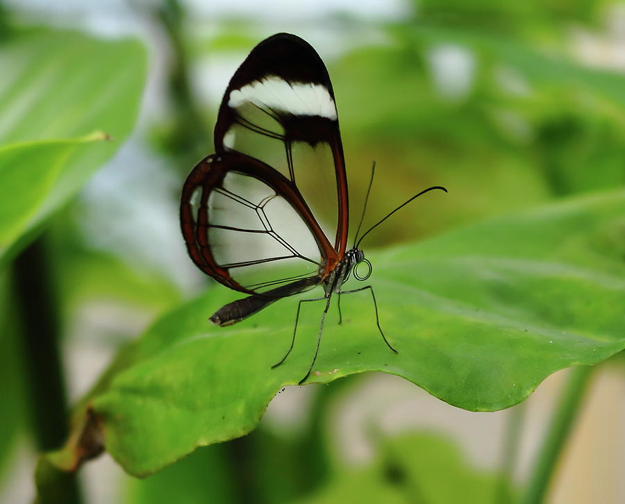 Glasswinged Butterfly Photograph By Jeff Townsend