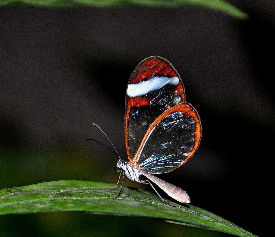 Glasswinged Butterfly Photograph By Randy Phelps