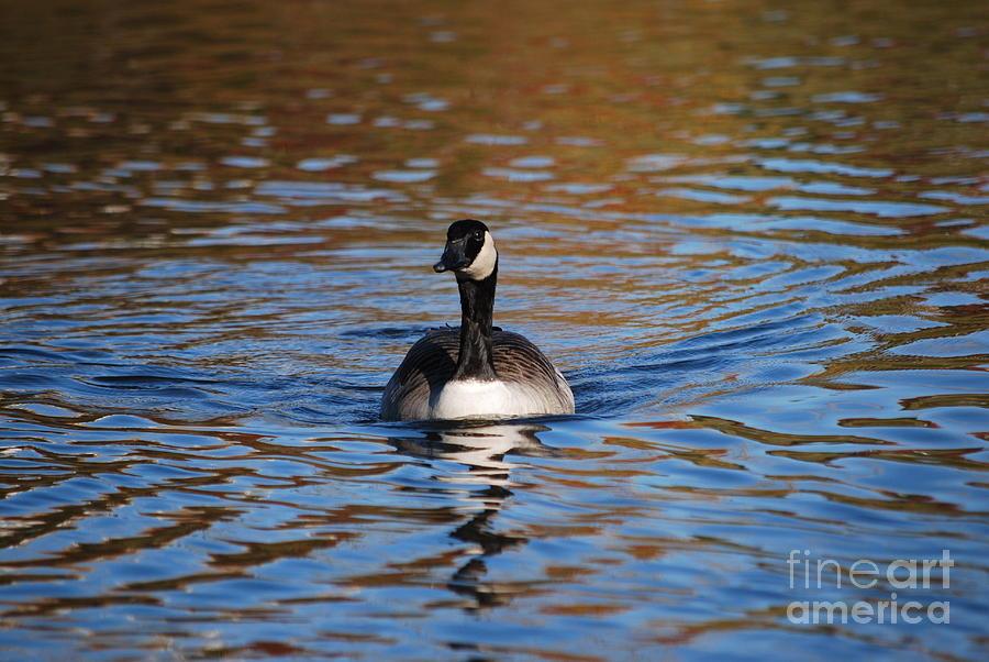 Goose Photograph - Glide by Joy Bradley