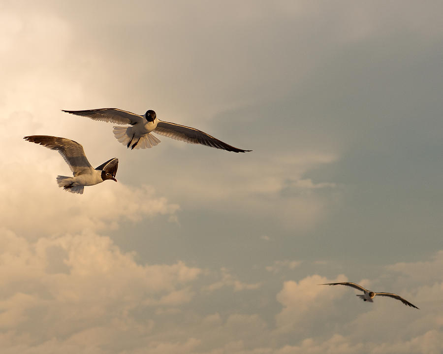 Seagulls Photograph - Gliders by Don Spenner