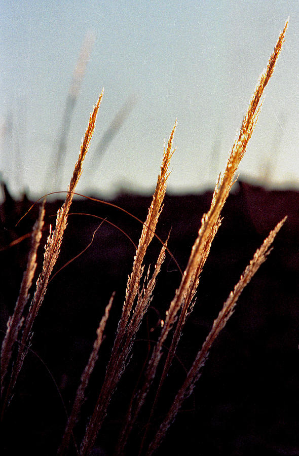 Grass Photograph - Glistening Grass by Randy Oberg