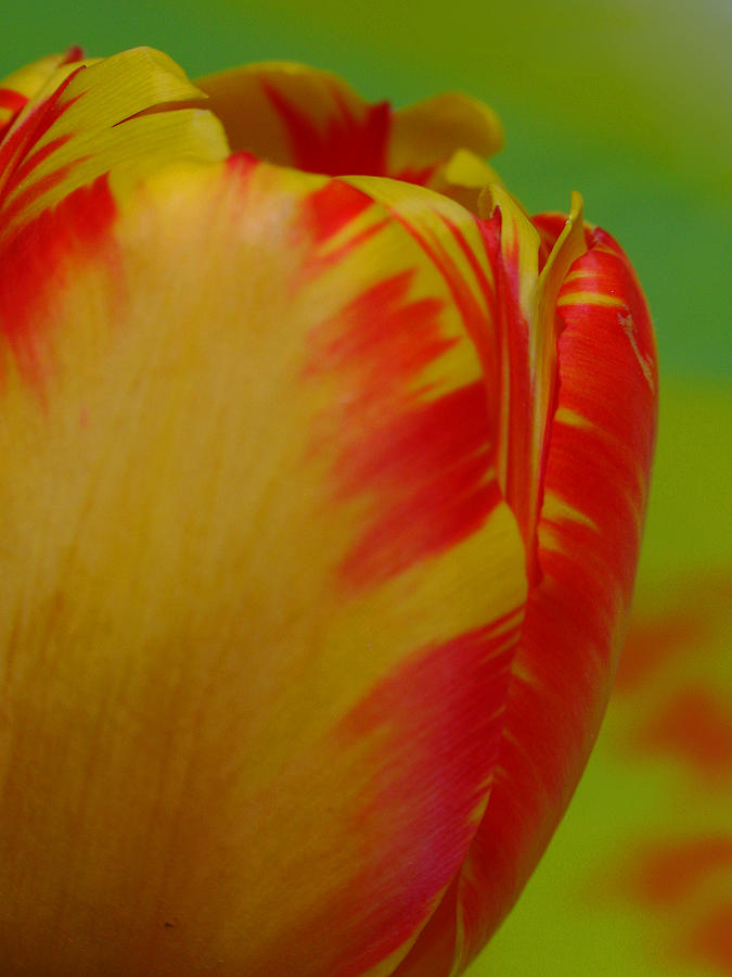 Tulip Photograph - Globe Tulip by Juergen Roth