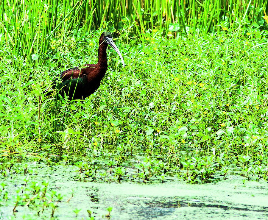 Glossy Ibis Photograph - Gloossy Ibis In The Marsh by Norman Johnson