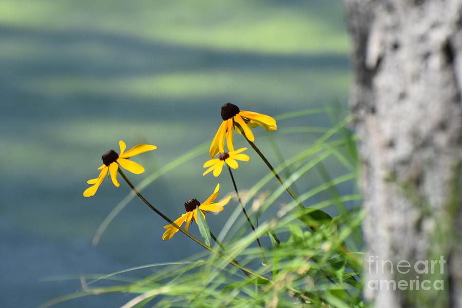Color Photograph - Gloriosa Daisies by Dale Adams
