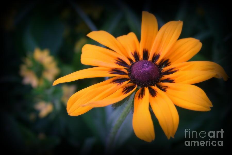 Daisy Photograph - Gloriosa Daisy by Kay Novy