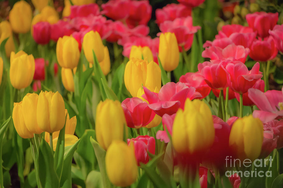 Glorious Bed Of Tulips Photograph