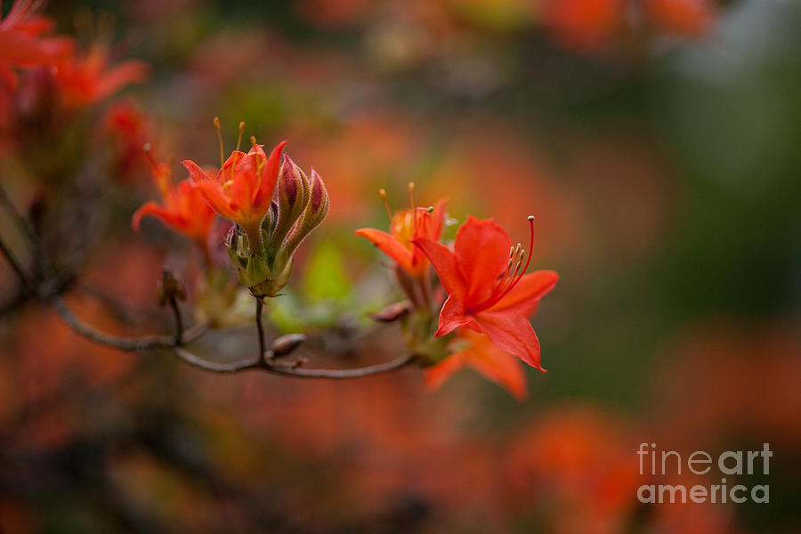 Rhodies Photograph - Glorious Blooms by Mike Reid