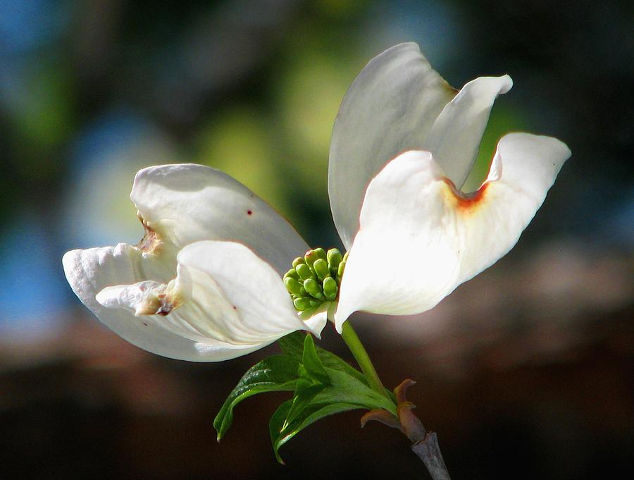 White Dogwood Photograph - Glory Of Spring by Angela Davies