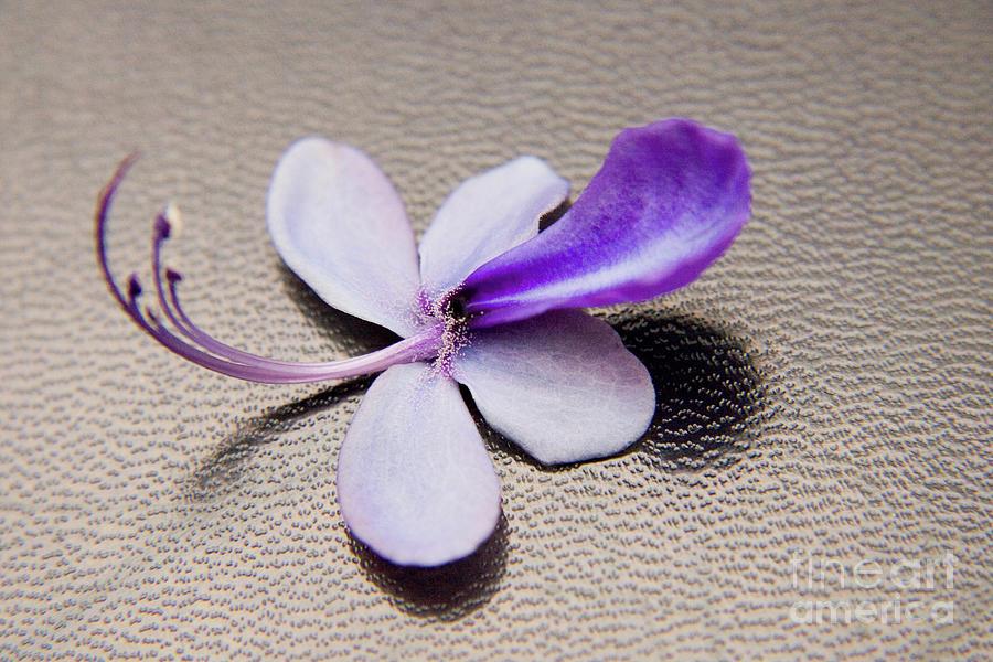 Nature Photograph - Glorybower Patio Tree Flower by Julia Hiebaum