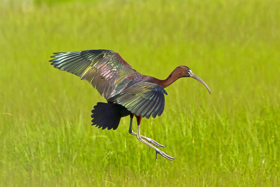 Glossy Ibis Photograph - Glossy Ibis by David Freuthal