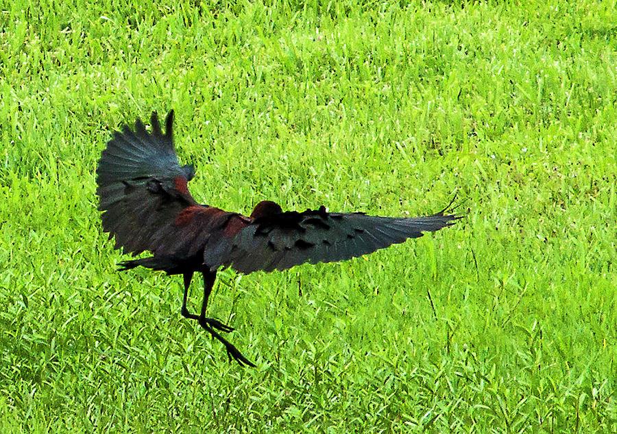 Glossy Ibis Photograph - Glossy Landing by Norman Johnson