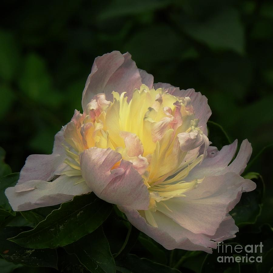 Glow Within A Peony by Eunice Miller