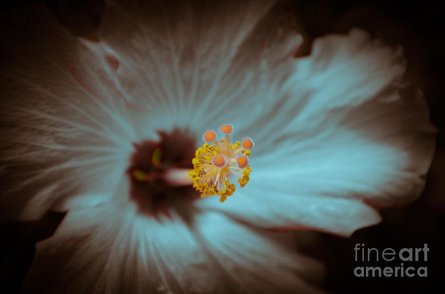 Hibiscus Photograph - Glowing Hibiscus by Debra Martz