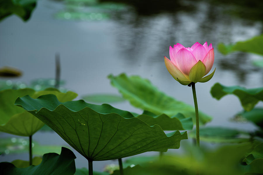 Glowing Lotus Lily by Dennis Dame