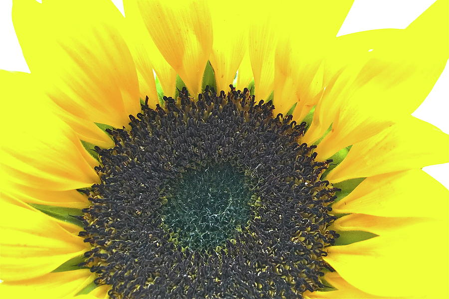 Sunflower Photograph - Glowing Sunflower by Caroline Reyes-Loughrey