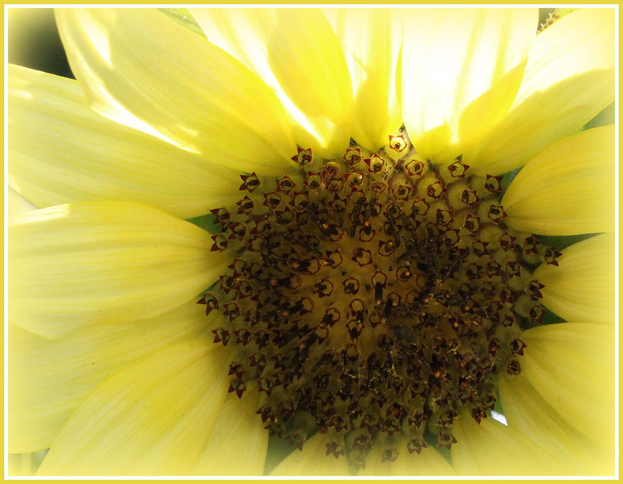 Glowing Sunflower - Close Up Photograph by Dora Sofia ...