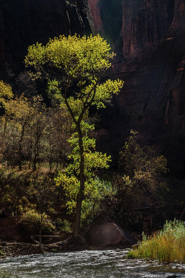 Glowing Tree At Zion Photograph
