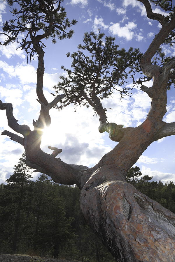 Bark Photograph - Gnarled Pine Tree And Sun by Ulrich Kunst And Bettina Scheidulin