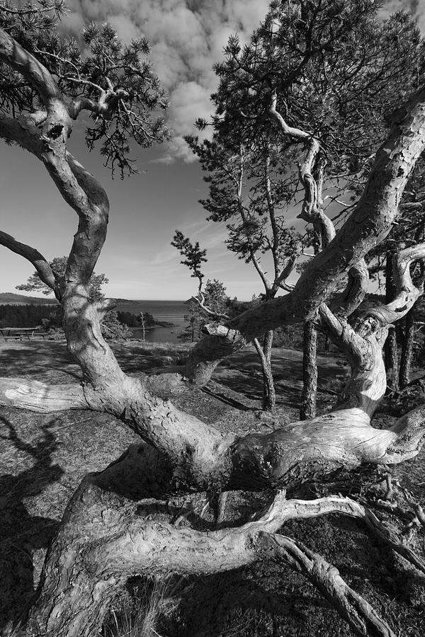 Baltic Sea Photograph - Gnarled Pine Tree At The Coast by Ulrich Kunst And Bettina Scheidulin