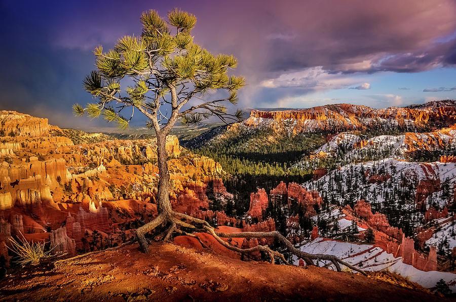Gnarled Tree at Bryce Canyon by Dave Koch