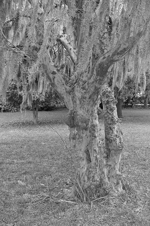 Gnarly Photograph - Gnarly - Black And White by Suzanne Gaff