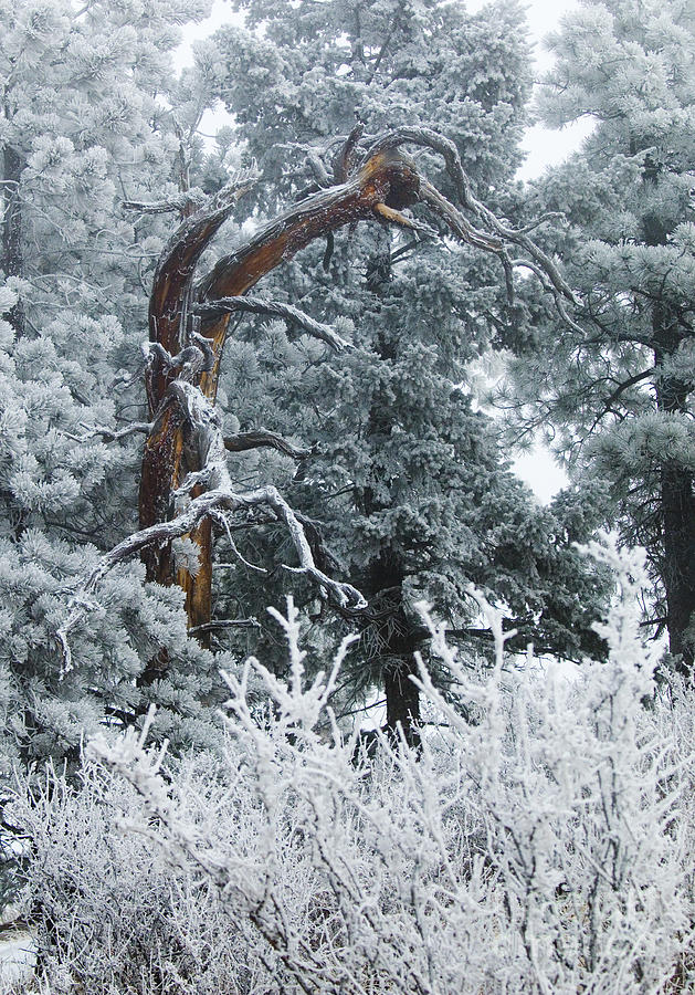 Gnarly Tree In Snow On Bald Mountain Photograph