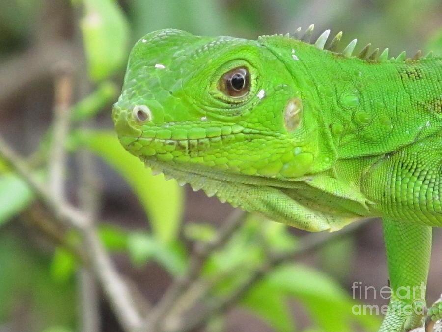 Aruba Photograph - Go Iguana Green 2 by Gregory Armstrong