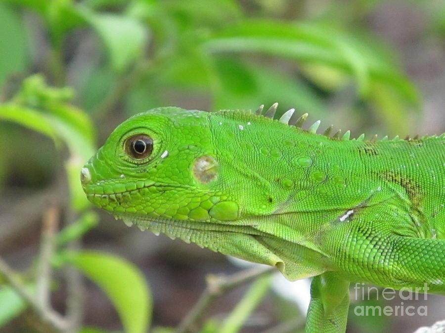 Aruba Photograph - Go Iguana Green by Gregory Armstrong