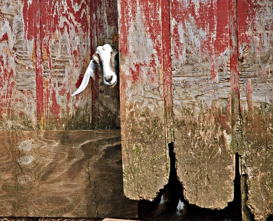 Old Photograph - Goat And Old Barn Door by Susan Leggett