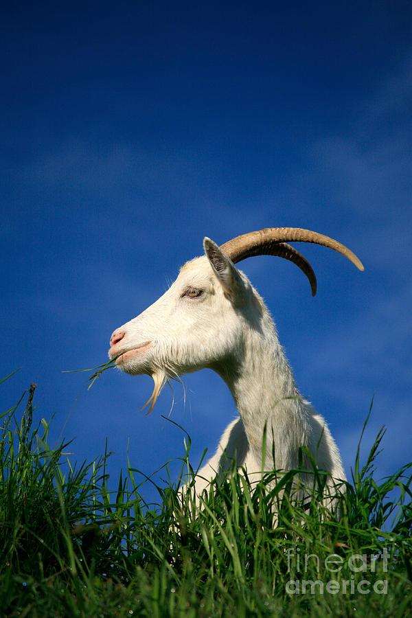 Animals Photograph - Goat by Gaspar Avila