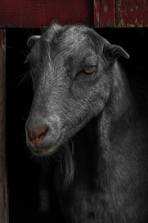 Goat Photograph - Goat In Red Barn by David Gn