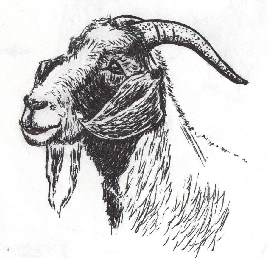 Goat Ink Drawing By Adrian Wint