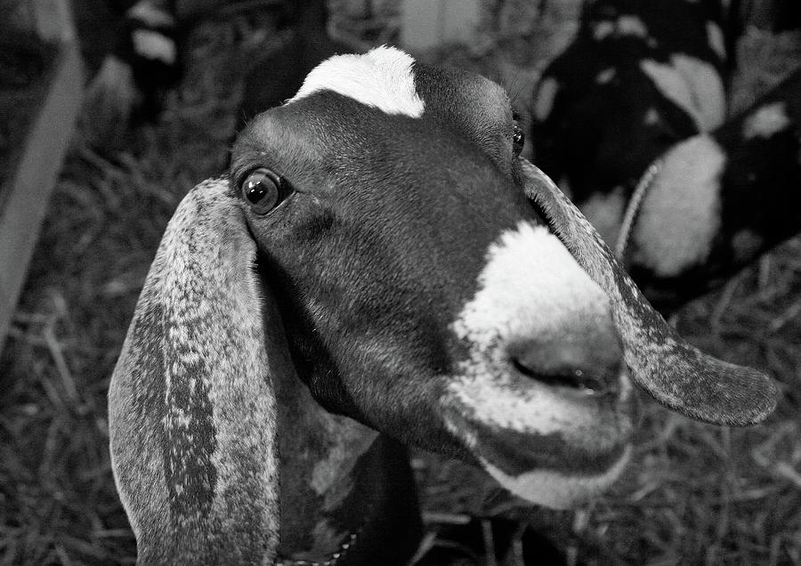 Goat by Jenny Mead