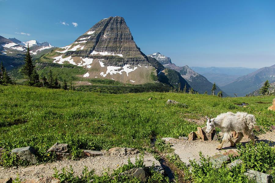 Goat On Hidden Lake Trail In Glacier Photograph