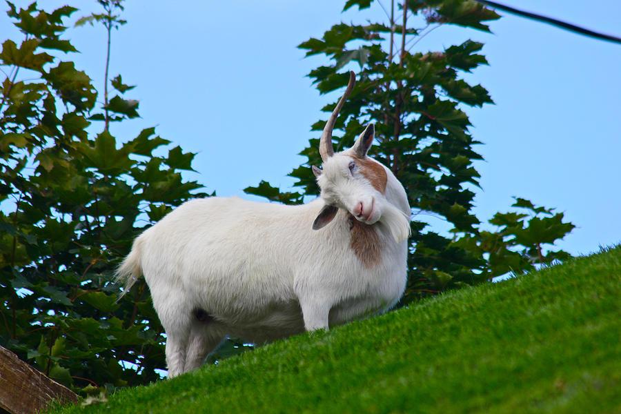 Goat on Roof by Jon Reddin